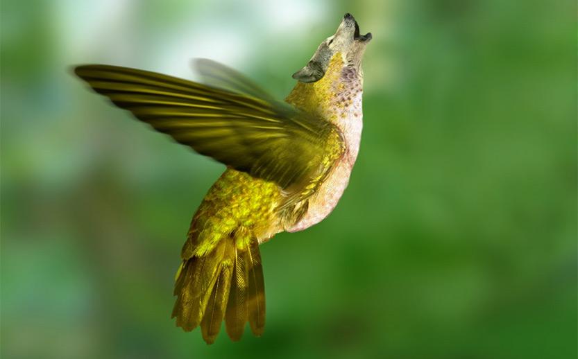 Anto-Colibri-Lobo